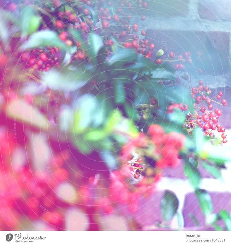 Red Berries Environment Nature Plant Summer Autumn Flower Bushes Leaf Foliage plant Wild plant Blossoming Fragrance Exotic Fresh Green White Round Fruit