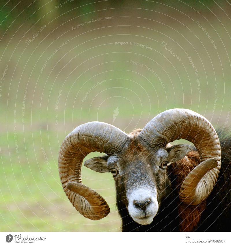 I am Horny. Spring Meadow Field Forest Wild animal Animal face Zoo 1 Rutting season Freedom Antlers Buck Sheep Flock European Mouflon Animal protection