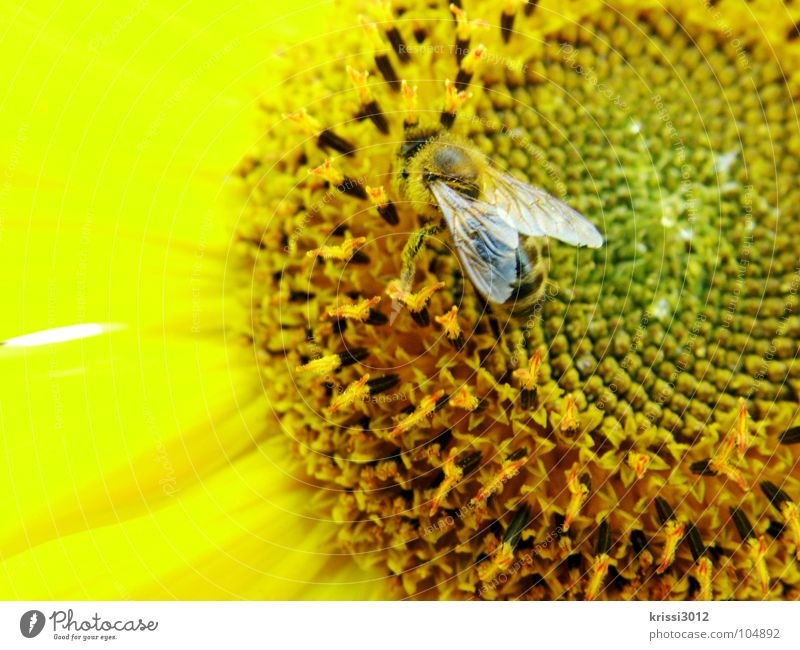 sunflower bees Bee Sunflower Yellow Black Brown Green Blossom Sunflower seed Blossom leave Feeler Insect Pollen Stamen Collection Diligent Honey Sprinkle Summer