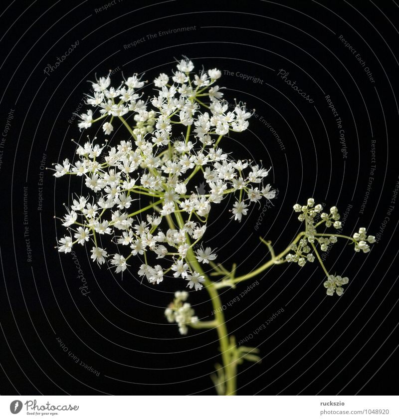 Anise, Pimpinella, anisum Herbs and spices Tea Healthy Plant Wild plant Free Black White pimpinella aniseed blossom WHITE BLOOMS White blossom Meadow flower