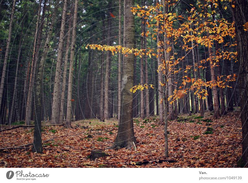 Once, in the woods. Nature Autumn Plant Tree Leaf Forest Brown Yellow Tree trunk Colour photo Subdued colour Exterior shot Deserted Day