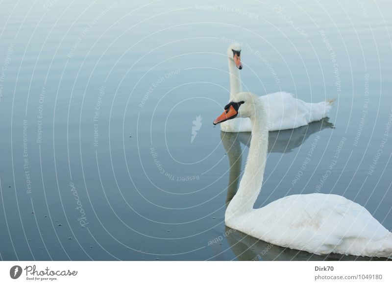 Swan Lake in the early morning Nature Water Summer Beautiful weather Waves Pond Surface of water Brittany France Finistere Animal Wild animal Bird Mute swan 2