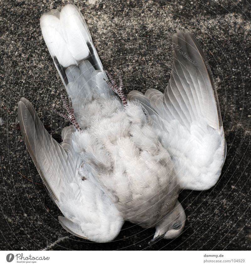 White House (Residential Structure) Animal Death Gray Wall (barrier) Feet Air Legs Bird Flying Concrete Aviation Feather Wing Pigeon