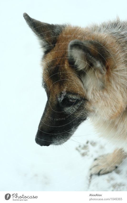 Holly Snow Beach Animal Pet Dog Shepherd dog 1 Observe Wait Esthetic Threat Brash Beautiful Astute Rebellious Retro Strong Joie de vivre (Vitality) Bravery