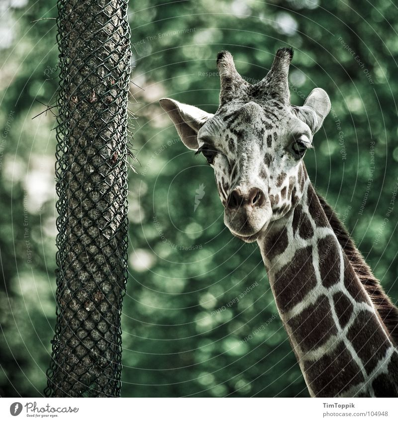 Green Tree Animal Brown Wild animal Zoo Africa Neck Mammal Checkered Steppe Tree bark Dappled Safari Giraffe Kenya