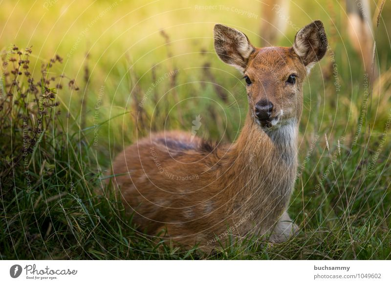 Wapiti Fawn Nature Animal Grass Meadow Forest Wild animal 1 Baby animal Sit Brown Green Protection deer youthful fawn fawns Roe deer sunshine Elk Wilderness