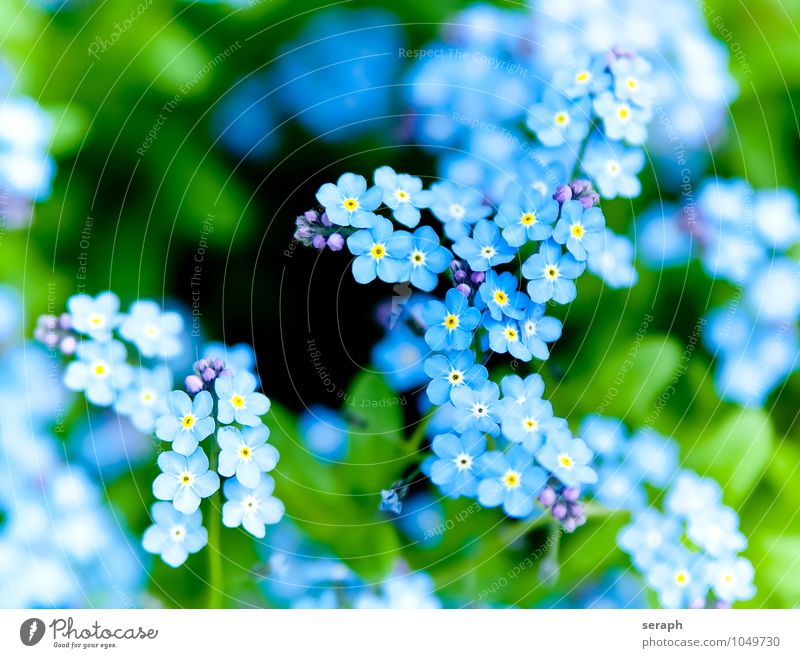 Forget-me-not Bud Flower Blossom leave Sepal Plant Growth Cute Botany Fresh Delicate Beauty Photography Fragile Fragrant Blue Garden Blossoming Herbacious