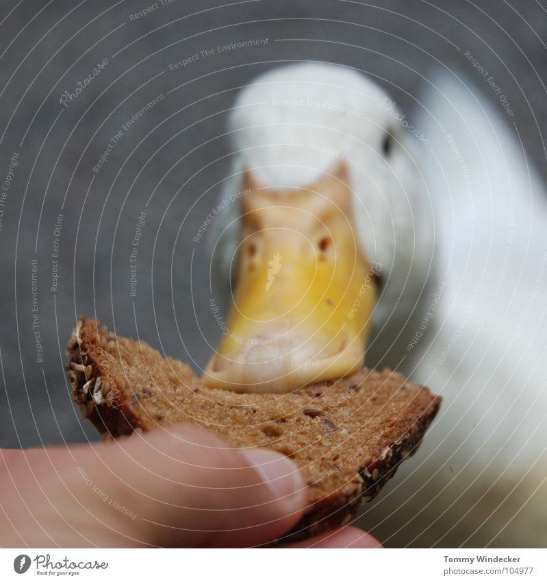 Nature White Hand Summer Animal Bird Orange Feather Trust Farm Appetite Zoo Bread Depth of field To feed Duck