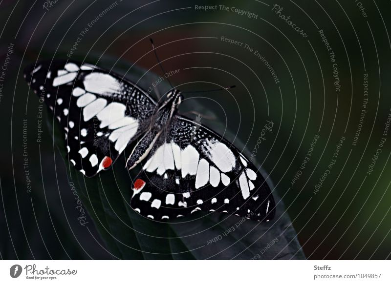 butterflies Nature Butterfly Wing Swallowtails & apollos Noble butterfly 1 Animal Beautiful Black White Symmetry Dark green Pattern Copy Space Eye-catcher