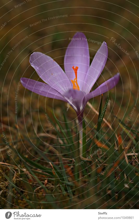 Longing for the sun crocus flowering crocus Spring crocus wide open Domestic Nordic Nordic nature knapweed local plant Nordic wild plant Spring flowering plant
