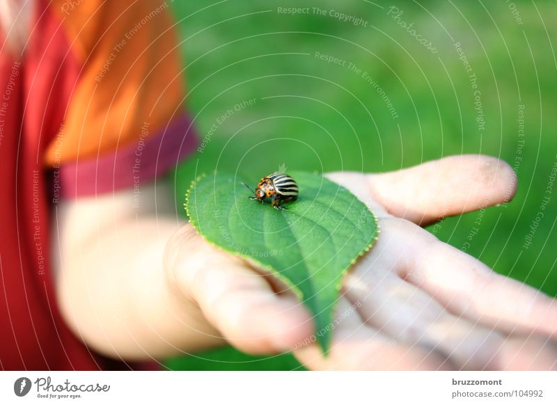 Child Hand Green Red Leaf Orange Skin Agriculture Beetle Potatoes Plagues Pests Children`s hand Chitin Colorado beetle