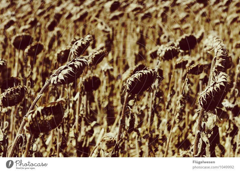 Hanging heads Environment Nature Climate Climate change Plant Grass Bushes Agricultural crop Wild plant Desert To dry up Appetite Thirst Distress Sunflower