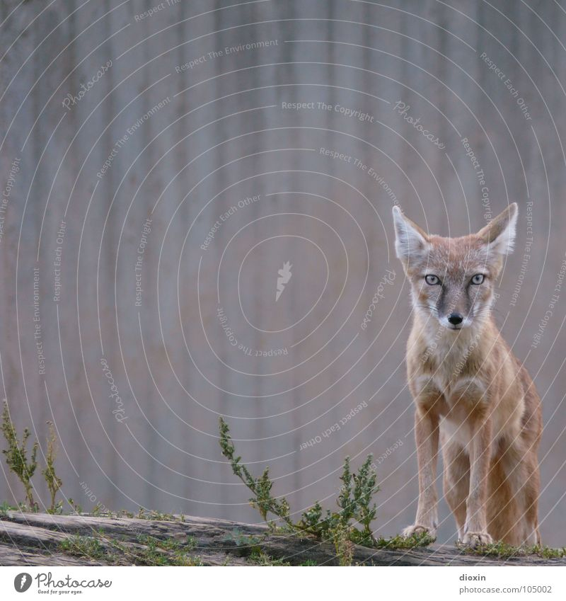 Nature Animal Environment Gray Brown Wait Concrete Stand Wild animal Ear Observe Pelt Zoo Brave Interest Mammal