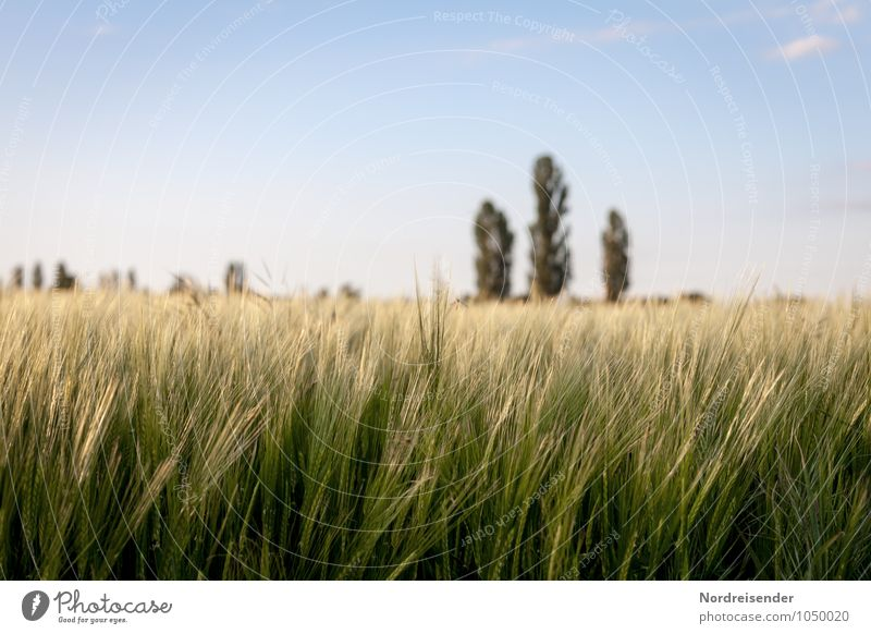 barley Agriculture Forestry Nature Landscape Sky Summer Beautiful weather Plant Tree Agricultural crop Field Growth Moody Barley Barleyfield Barley ear