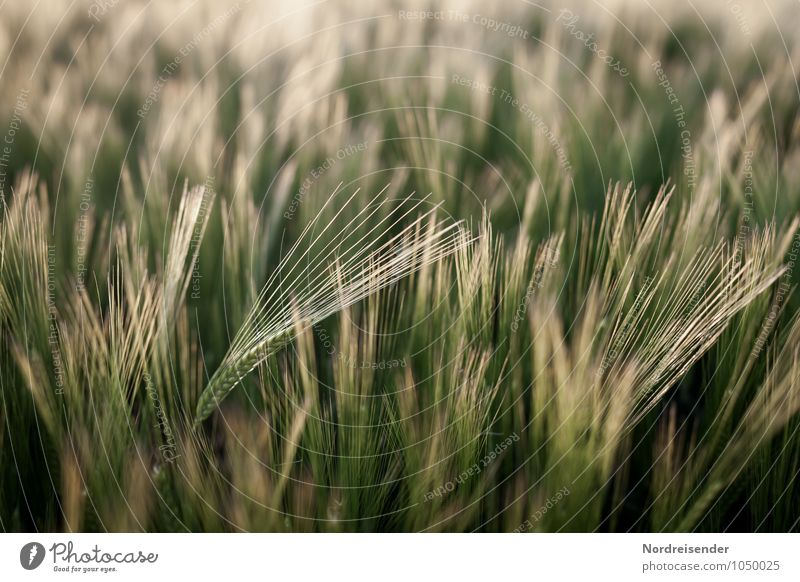 barley Organic produce Agriculture Forestry Nature Landscape Plant Summer Agricultural crop Field Growth Pure Barley Barleyfield Barley ear Awn Grain Cornfield