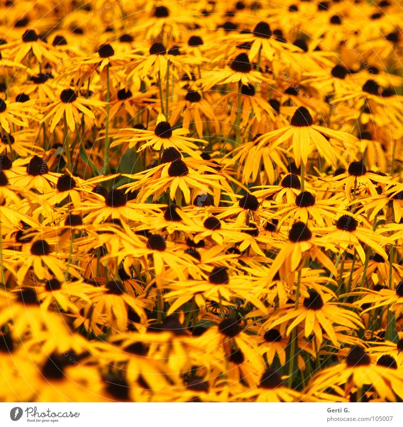 Flower Yellow Blossom Healthy Orange Multiple Many Beautiful weather Stalk Buttons Sunflower Pollen Blossom leave Nipple Daisy Family Verdant
