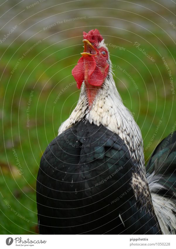 The cock crows Meat Organic produce Animal Farm animal Rooster Poultry Elegant Red Honor Self-confident Cool (slang) Power Brave Safety Protection