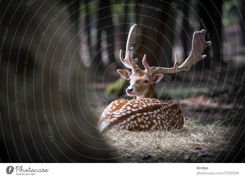 vigilant Summer Tree Forest Wild animal Fallow deer Deer 1 Animal Observe Lie Esthetic Natural Protection Watchfulness Authentic Timidity Discover Nature Senses
