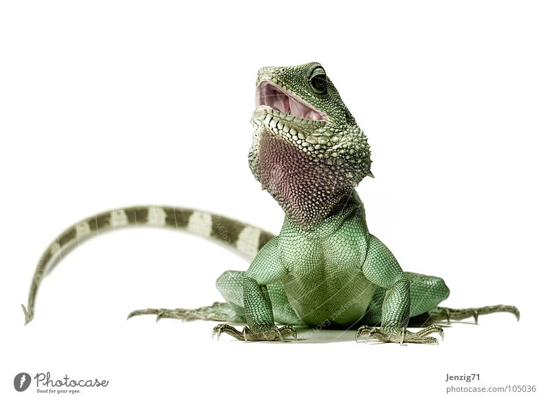 Poser 3 Saurians Lizards Agamidae Water dragon Reptiles Posture Tails Green Animal Waran Iguana helge Barn waterdragon