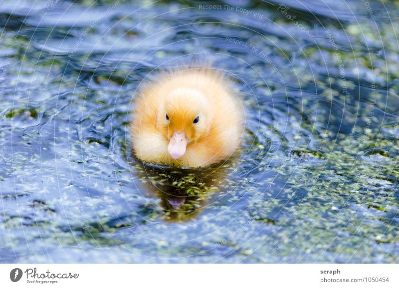 Chick Duck Bird Feather Ornithology Animal Nature Wing Wild wildlife Pond Baby animal Small Cute Feeding Maritime Environment fowl Duck birds Newborn Fluffy Pet