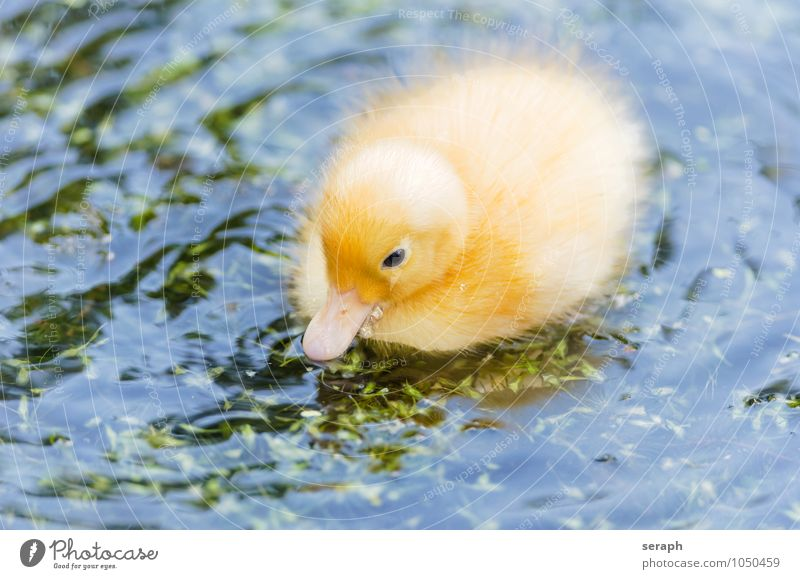 Fledgling Chick Duck Bird Feather Ornithology Animal Nature Wing Wild Pond Baby animal Small Cute Feeding Maritime Environment fowl Duck birds Newborn Fluffy