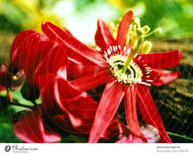 Flower Red Summer Blossom Garden Botany Fairy tale Botanical gardens