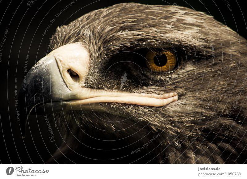 eagle eye Animal Wild animal Bird Animal face Eagle Bird of prey 1 Strong Brown Pride keep an eye out Looking Eagles eyes Beak Plumed Colour photo