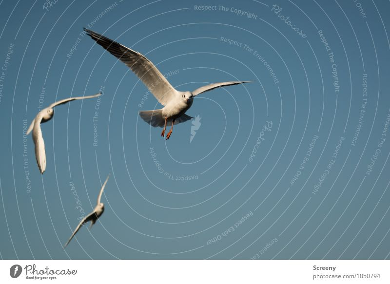 Mamöwer Nature Animal Air Sky Cloudless sky Summer Beautiful weather River bank Wild animal Bird Seagull Gull birds 3 Group of animals Flying Elegant Blue White