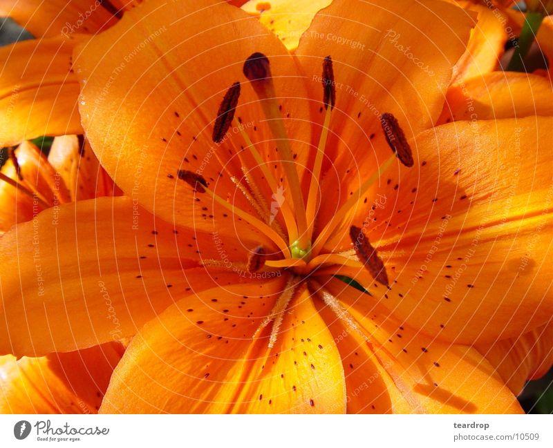 Flower Blossom Lily