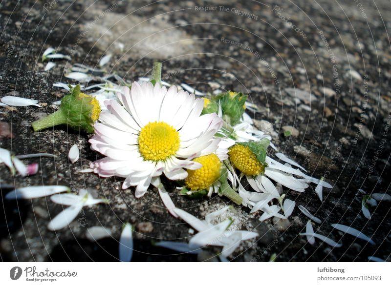 White Flower Green Yellow Blossom Broken Daisy Blossom leave Picked