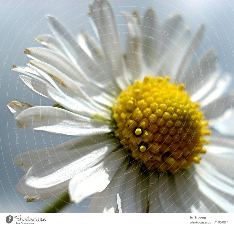 Nature White Flower Yellow Blossom Daisy Pollen Blossom leave