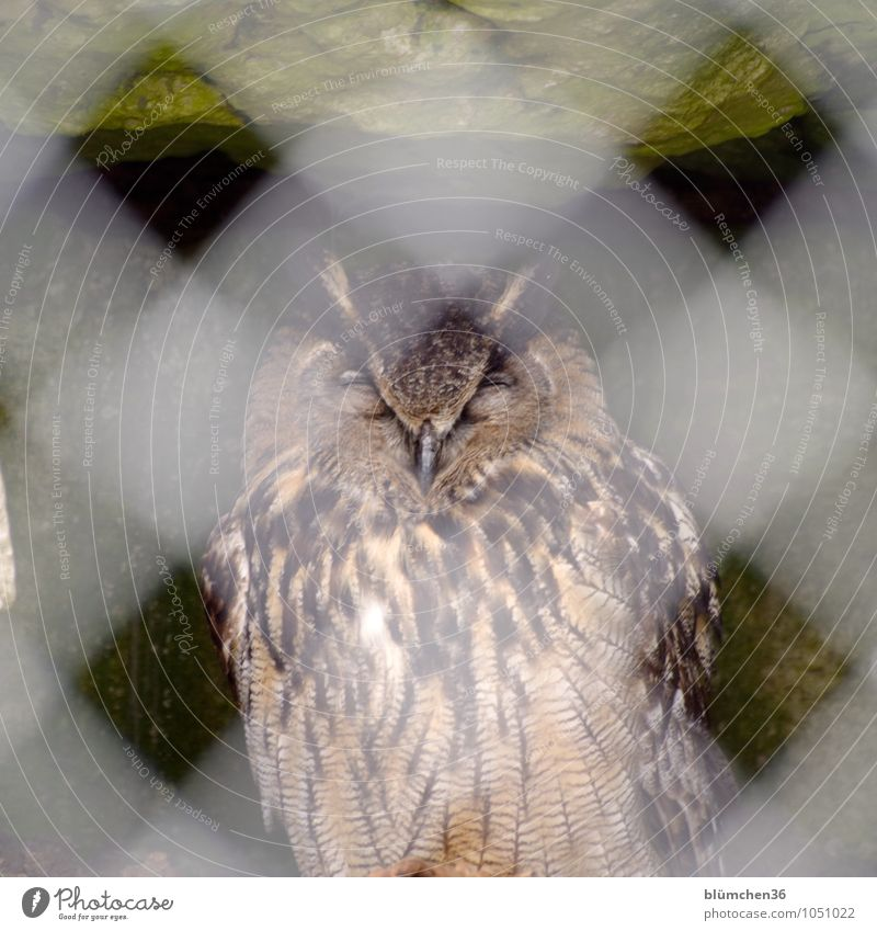 He dreams of freedom! Animal Wild animal Bird Eagle owl Owl birds Bird of prey Bird's cage Cage Relaxation Sleep Sit Dream Fence Grating Calm Fatigue