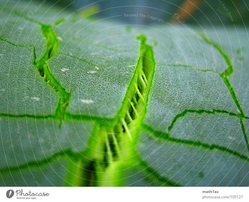 Green cracks France Maturing time Blow up Plant Macro (Extreme close-up) Close-up Spring Crack & Rip & Tear Aloe les arce Growth Nature