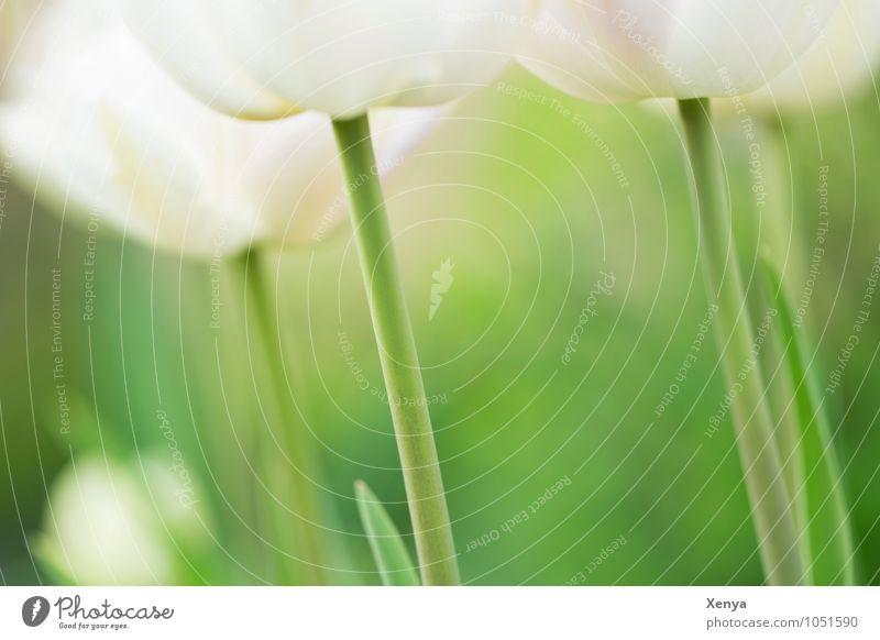 Beautiful stems Nature Plant Flower Tulip Leaf Blossom Garden Blossoming Esthetic Elegant Green White Spring fever Delicate Spring flower Fresh Exterior shot