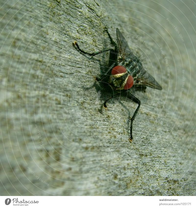 Fly Insect Disgust Flesh fly