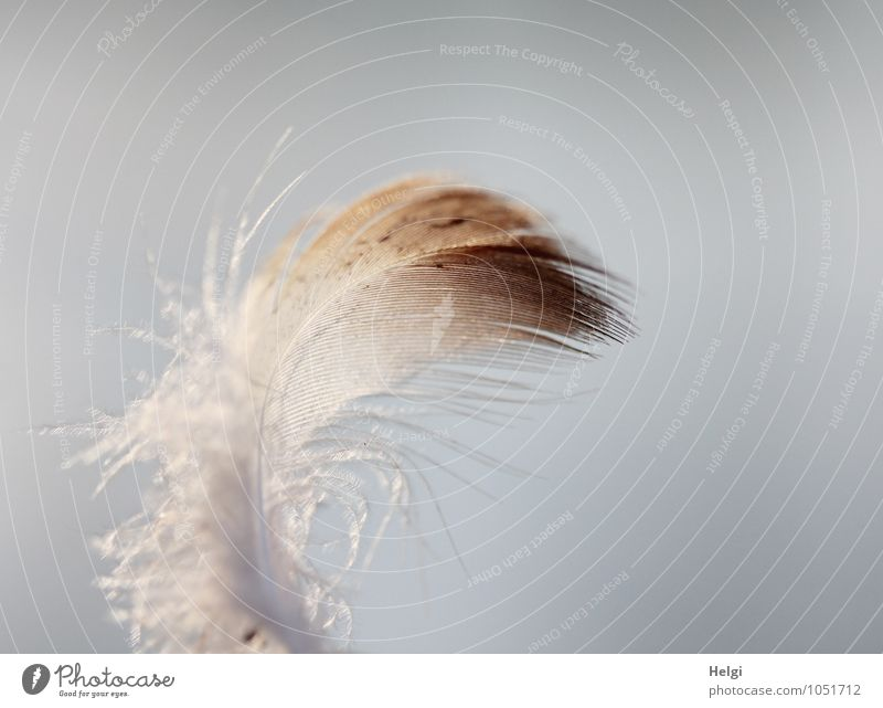 filigree Feather Esthetic Simple Beautiful Uniqueness Small Natural Soft Brown Gray White Nature Arrangement Transience Delicate Easy Ease Colour photo