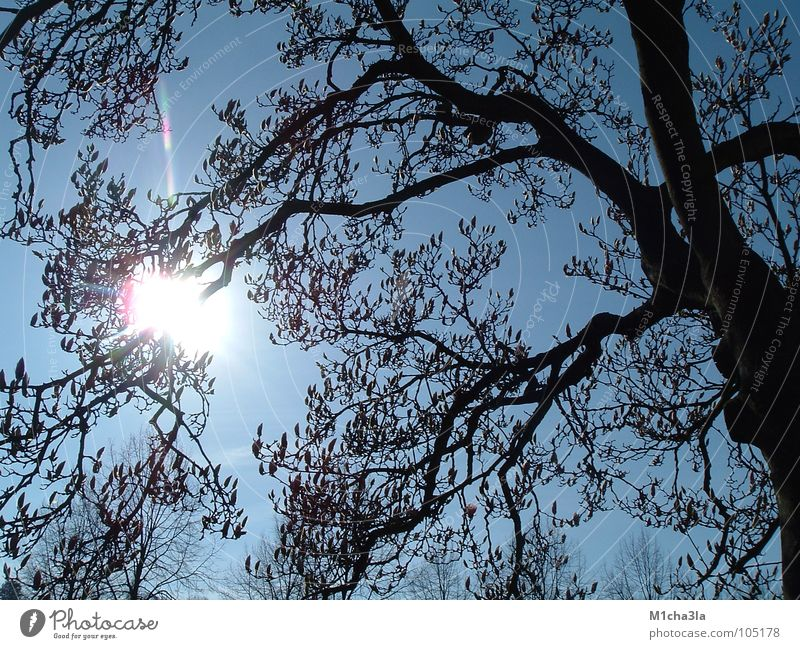 Sun through Magnolia Light Tree Magnolia plants Branch Sky Blue