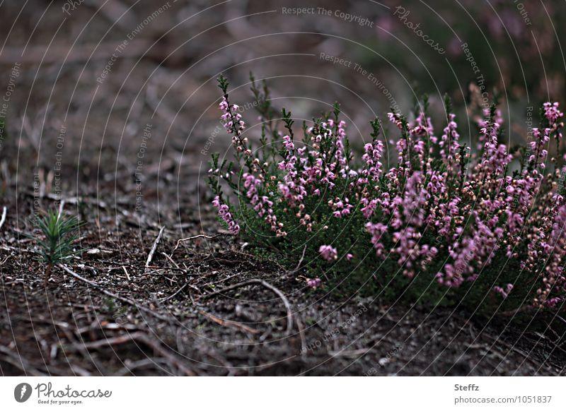 flowering heather bushes in a barren environment Heathland heather blossom Nordic nature Nordic romanticism Domestic Poetic Nordic wild plants