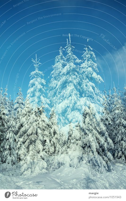 spruce, winter landscape Environment Nature Sky Winter Climate Weather Ice Frost Snow Snowfall Tree Fir tree Spruce Spruce forest Coniferous trees Forest