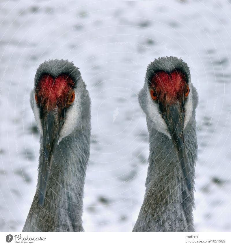 White Red Animal Eyes Snow Gray Bird Beak Neck Crane Double portrait
