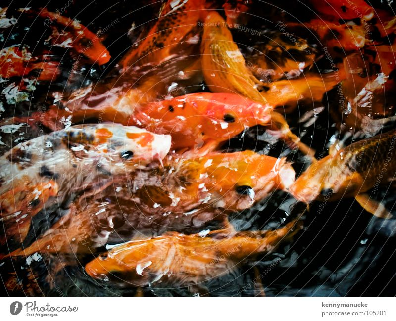 hunger Yellow Fish Appetite water goldfish mouth open Orange swim