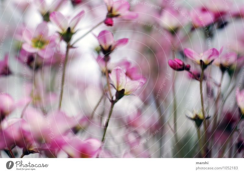 spring in desire Nature Landscape Plant Spring Summer Flower Wild plant Pink White Garden Blossoming Blossom leave Colour photo Exterior shot Close-up Detail
