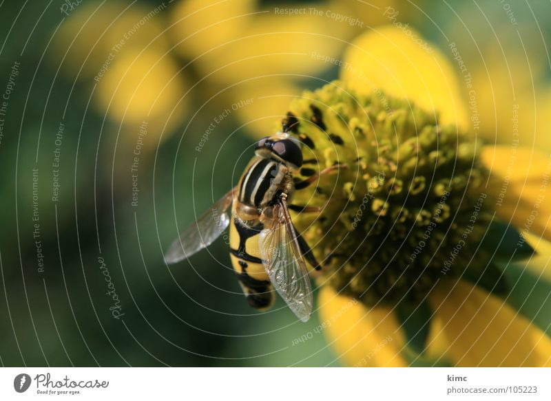 hoverfly Insect Animal Blossom Sprinkle To feed Suck Summer Spring Bee Wasps Yellow Fly Garden nurture sb. Flying Wing