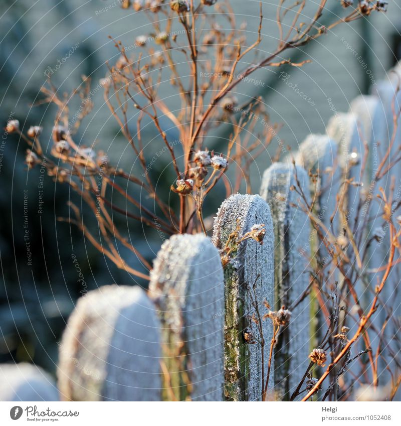 Winter morning sun... Environment Nature Plant Beautiful weather Ice Frost Garden Fence Wood Old Freeze Illuminate Stand To dry up Esthetic Authentic Cold