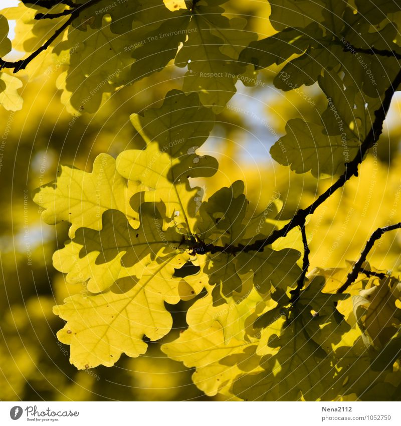 Yellow! Environment Nature Plant Air Autumn Climate Weather Beautiful weather Tree Leaf Garden Park Forest Bright Dry Oak tree Oak leaf Oak forest October