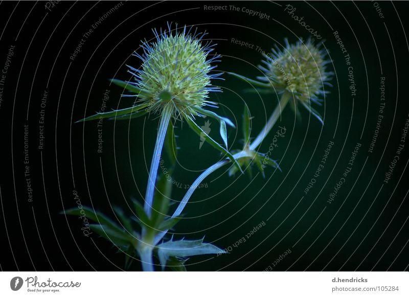 Plant Thistle