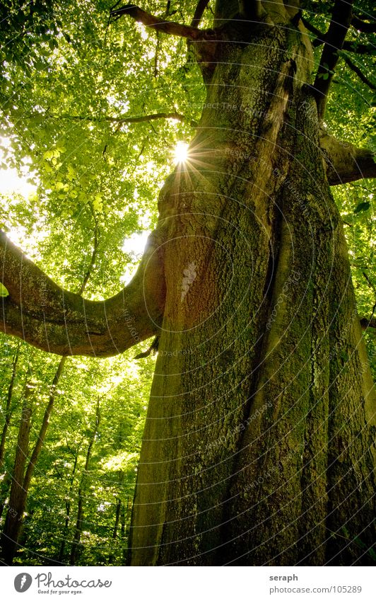 Nature Old Green Plant Sun Tree Leaf Forest Idyll Growth Branch Tree trunk Twig Treetop Tree bark Leaf green