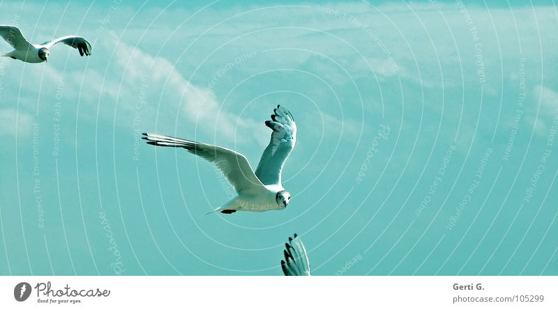 blue.birds Bird Seagull Poultry Heavenly Light blue Clouds Bad weather Feeding Beak Gull birds Multiple 2 Sky Blue sky Peace möwenpic Flying Aviation Wing