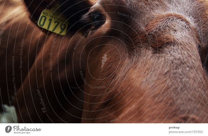 Eyes Brown Closed Signs and labeling Ear Pelt Near Cow Statue Depth of field Patch Mammal Pistil Bull Moral Register