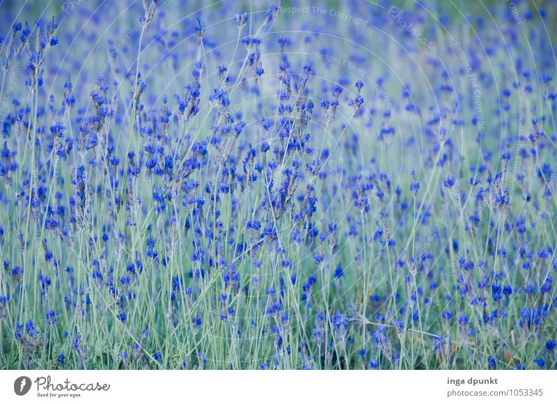 off to the blue Environment Nature Landscape Plant Blossom Agricultural crop Wild plant Lavender Herbs and spices Lavender field Garden Meadow Field Blossoming